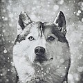 Wolf Shadow  Photography - Siberian Husky in the...
