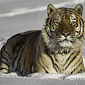 Jerry Fornarotto - Siberian Tiger at...