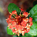Connie Fox - Single Orange Ixora