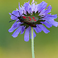 Mark Monckton - Six-spot Burnet Moth on...
