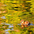 Lynn Bauer - Small Duck in a Big Pond
