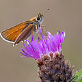 Mark Monckton - Small Skipper Butterfly