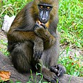 Richard Bryce and Family - Snacking Mandrill