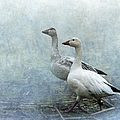 Angie Vogel - Snow Geese