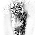Linsey Williams - Snow Leopard 2
