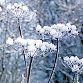 Ted Denyer - Snow on Flower Heads