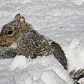 MTBobbins Photography - Snow Squirrel