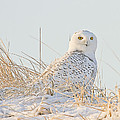 John Vose - Snowy Owl in the Snow...
