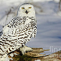 Inspired Nature Photography By Shelley Myke - Snowy Owl on a Winter...