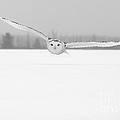 Michael Cummings - Snowy Owl Pictures 3