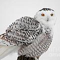 Michael Cummings - Snowy Owl Pictures 8