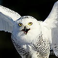 Inspired Nature Photography By Shelley Myke - Snowy Owl Screeching at...