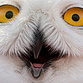 Laura Duhaime - Snowy Owl Up Close and...