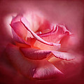 Sally Bauer - Soft Pink Rose