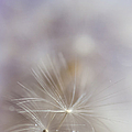 Jenny Rainbow - Soft Touch of Dandelion....