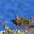 Debbie Oppermann - Song Sparrow