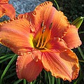 MTBobbins Photography - South Seas Daylily