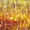 Anne Macdonald - Sparkling Wet Grass In...