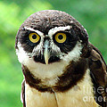 Gary Gingrich Galleries - SpectacledOwl-18