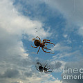 Jane Ford - Spider