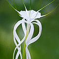 Thomas Levine - Spider Lily 1