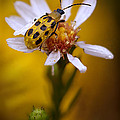Robert Charity - Spotted Cucumber Beetle...