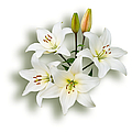Jane McIlroy - Spray of White Lilies