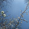 Karen Rispin - Spring plum and sky