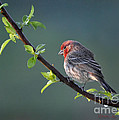 Nava Jo Thompson - Spring Purple Finch