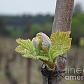 France  Art - Spring in the Vineyard