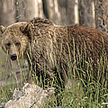 Elaine Haberland - Springtime Grizzly in...