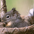 Peggy Collins - Squirrel in His Comfort...