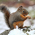 Peggy Collins - Squirrel in the Snow