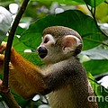 Imran Ahmed - Squirrel Monkey climbs a...