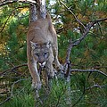 Daniel Behm - Stalking Mountain Lion