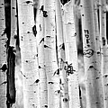 Ruth Jolly - Stand tall Aspens
