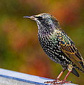 Chris Smith - Starling  Sturnus...