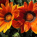 Zulfiya Stromberg - Striped orange gazania