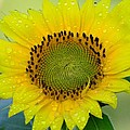 Judy Genovese - Sunflower after the rain