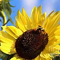 Gary Gingrich Galleries - Sunflower and Bee-3879