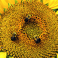 Regina Geoghan - Sunflower and Bees