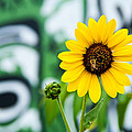 Mark Weaver - Sunflower And Graffiti