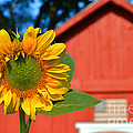 Catherine Sherman - Sunflower and Red Barn