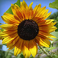 Photographic Art and Design by Dora Sofia Caputo - Sunflower Beauty