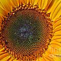 Scott Cameron - Sunflower Bloom