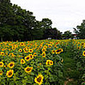 Bill Cannon - Sunflower Field