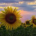 Debra and Dave Vanderlaan - Sunflower Field