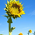 Lee Craig - Sunflower from...