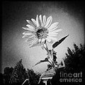Nina Prommer - Sunflower in b/w