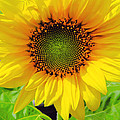 Kathleen Sartoris - Sunflower